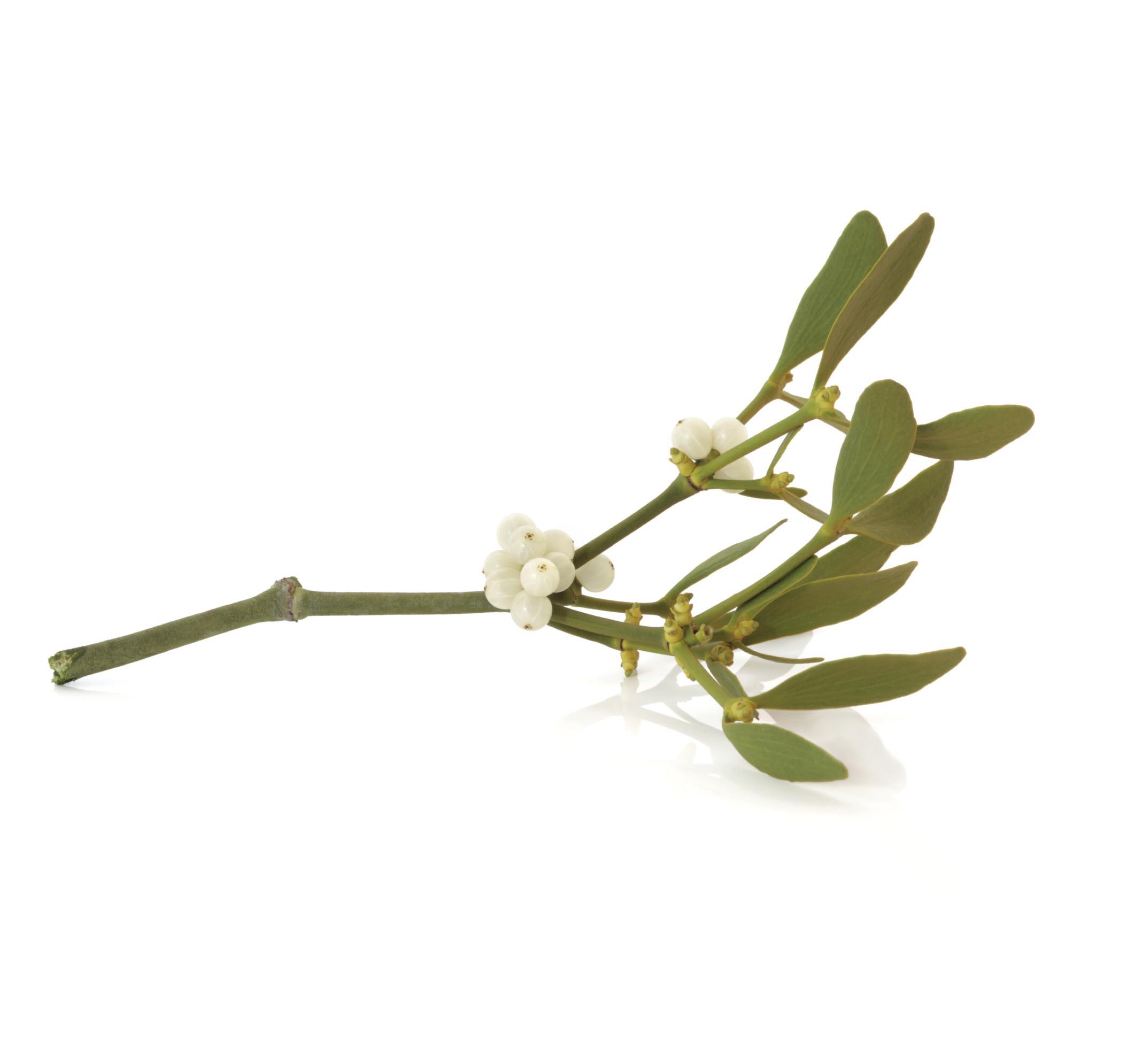 mistletoe therapy in India